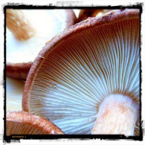 Bellingen Mushrooms - Kombu Wholefoods